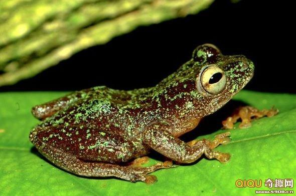 [图文]科学家发现三个原以为灭绝的两栖动物物种-科教