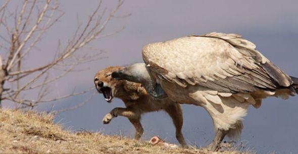 豺从秃鹫口中夺食瞬间-科教台-中国网络电视台