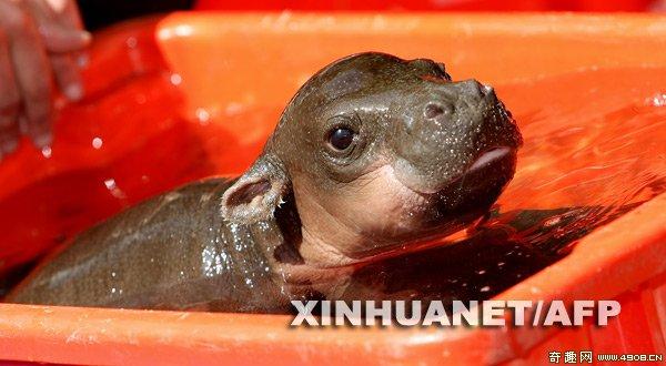[图文]澳大利亚动物园的侏儒小河马-科教台-中国网络