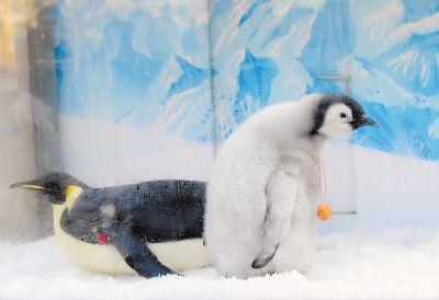 """帝企鹅""""宝宝""""(右)与它的""""妈妈""""帝企鹅海伦.新华社记者 任勇摄"""