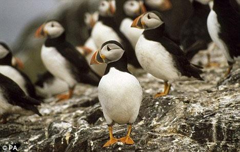 濒临灭绝动物海鹦的繁殖盛季.