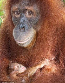 新加坡动物园里的红毛猩猩comel充满爱意地怀抱着