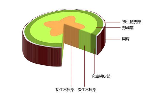如图所示,它包含髓质(图中忽略了),初生的木质部,韧皮部和它们中间的
