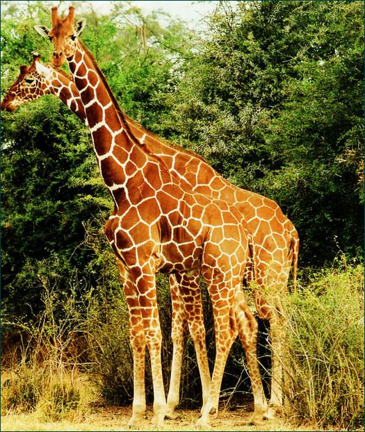 两只雄性长颈鹿   许多陆生哺乳动物,包括鹿、羚羊、北美野牛、大象,都会有同性性行为,其中以雄性长颈鹿最为多见。年轻的成年雄性长颈鹿会进行颈吻(necking)用长脖子在对方身上轻柔地摩擦,持续好一段时间,无视周围雌性的存在。   通常颈吻能使雄性勃起,大约 15 分钟左右,其中一只会停止摩擦,颈部向前伸直,貌似经历了强烈的快感。颈吻后它们通常会模拟交配并射精。随着年龄增长,雄性间的性接触会被异性性接触取代。   年轻的美洲野牛同性间肛交比异性间交配常见得多,且前者持续时间是后者的两倍。 公 羊