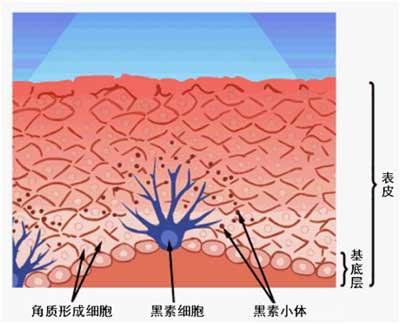 从而导致酪氨酸酶系统的抑制或黑素细胞的破坏,最终引起皮肤色素的脱