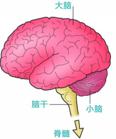 简单版脑组织结构示意图.