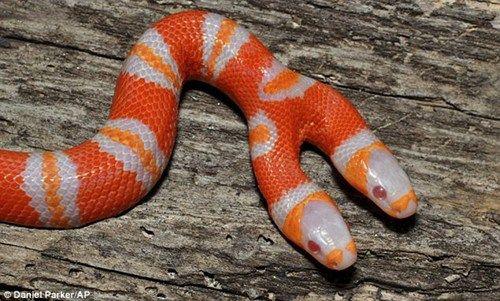 """这种""""双头蛇""""出现几率为万分之一."""