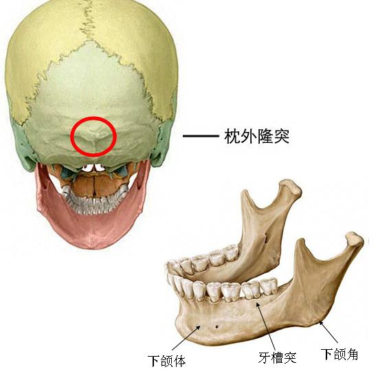脸部结构图及名称大全
