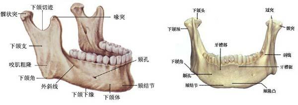 牙齿结构图解剖图