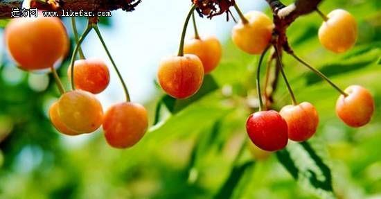 京郊最鲜细嫩的樱桃采摘完整顿攻微