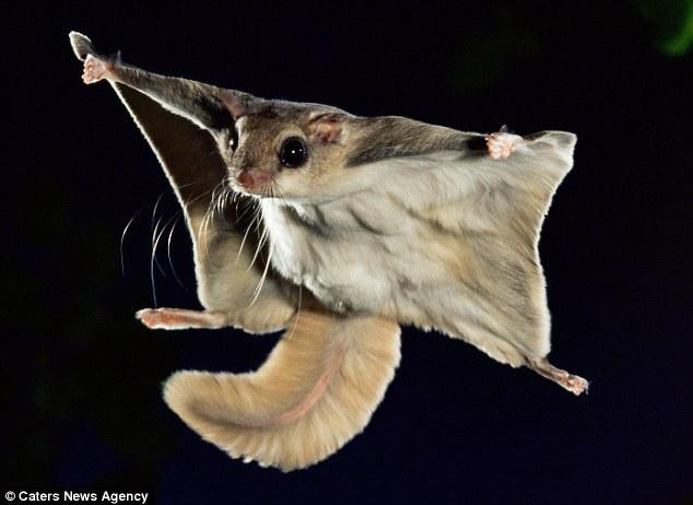 日本飞鼠跳跃45米精彩瞬间:身体展开似滑翔机
