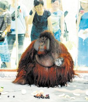 """记者在长沙生态动物园专门为它准备的新笼舍外看到,""""毛毛""""有一张"""