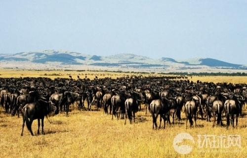 非洲草原动物大迁徙 十万角马在迁徙路上降生