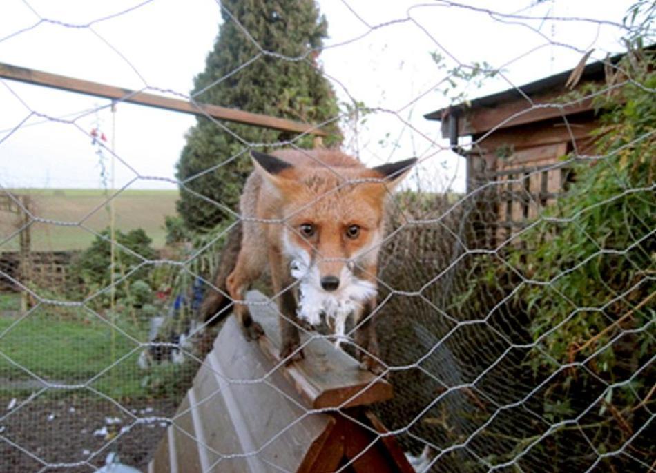 英国年度野生动物摄影佳作:狐狸老鹰雪地竞逐-科教台