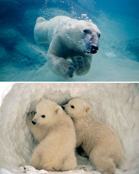 北极十大纯白野生动物:北极狐皮毛具伪装功能-科教台