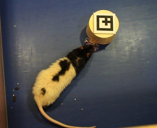 科学家设计阿凡达系统与老鼠建立交互沟通