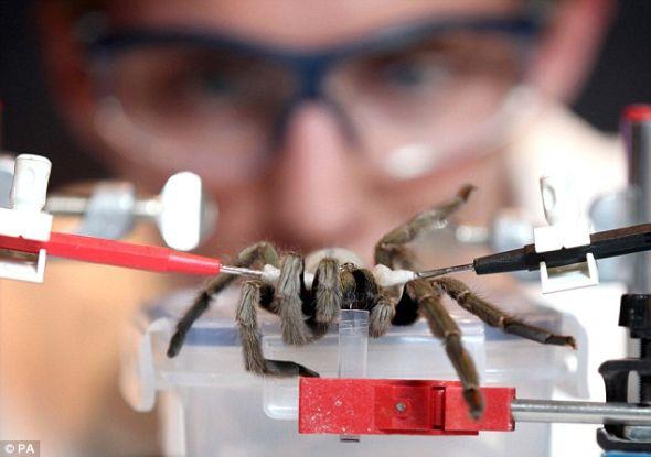 毒液萃取技师洛亚伦在伦敦科学博物馆关于痛苦减轻展览会的预展上演示了如何从一只狼蛛体内抽取毒液。