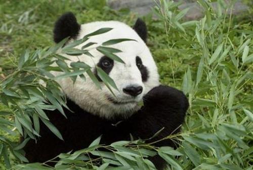 未来百年全球升温或致物种灭绝 熊猫恐首当其冲