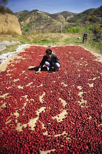 黄老汉家窑洞顶上铺着一层红枣,这也是他做黄馍馍的馅料。