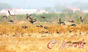 无际黄草甸水鸟飞舞