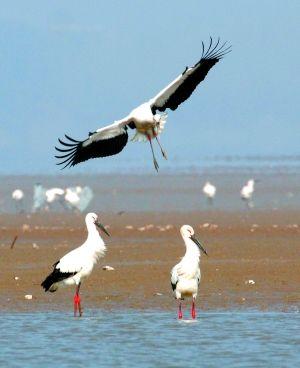 世界最大的白鹤越冬地