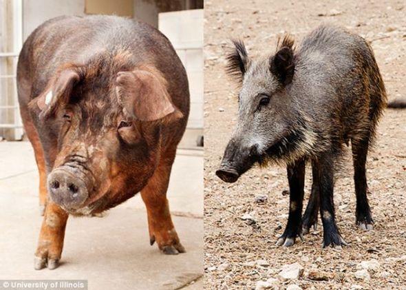 左为一头杜洛克猪,右为它的近亲野猪,与它的祖先类似。根据一项新的基因研究发现,猪在感官知觉等很多方面与人类相似