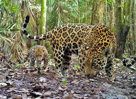 巴西科学家近期计划克隆美洲虎等濒危动物