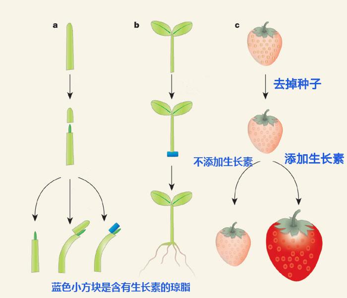 生长素促进植物的向光性、器官生长和膨大。/www.nature.com