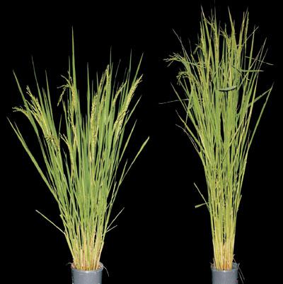 赤霉素合成障碍的水稻(左)比普通水稻(右)矮壮。 /Plant Physiology, Fifth Edition