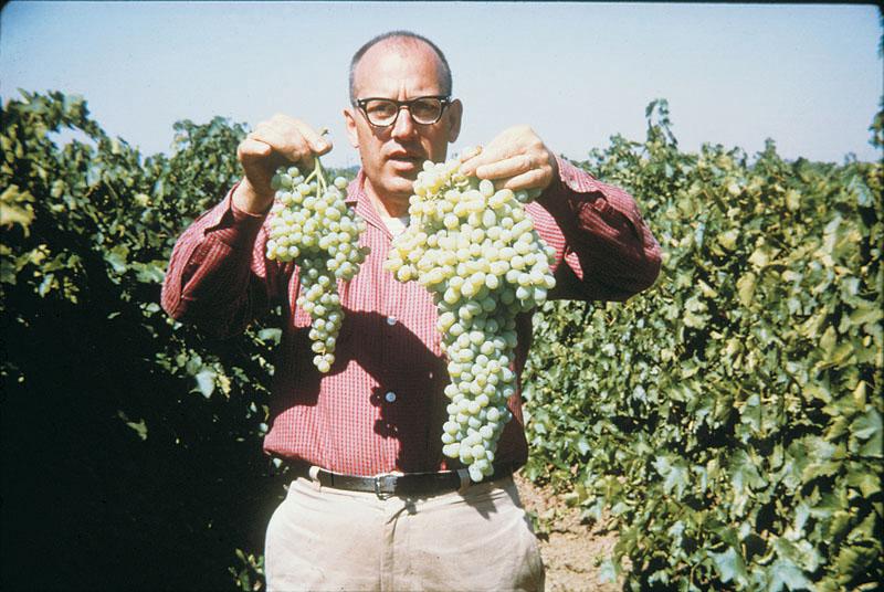 施用适量赤霉素可以使葡萄无籽且果粒增大。Sylvan Wittwer