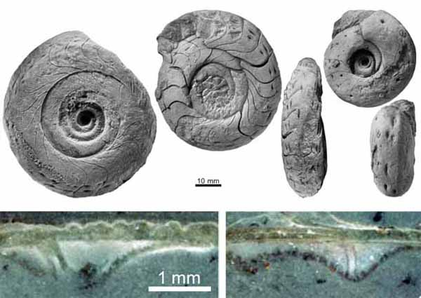 菊石化石及其壳壁坑中的细管(uux.cn)