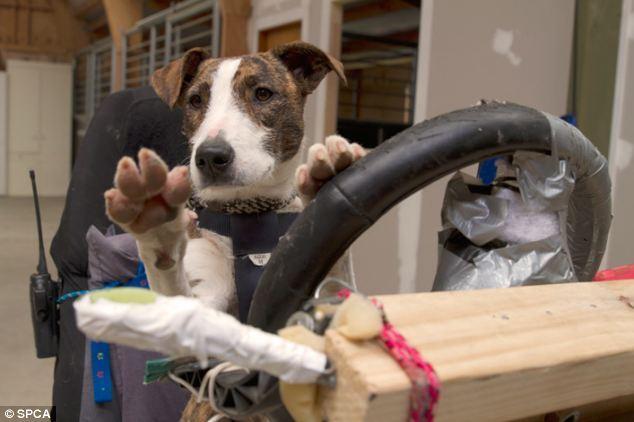 专家训练流浪狗开车:8周熟练掌握驾驶技巧